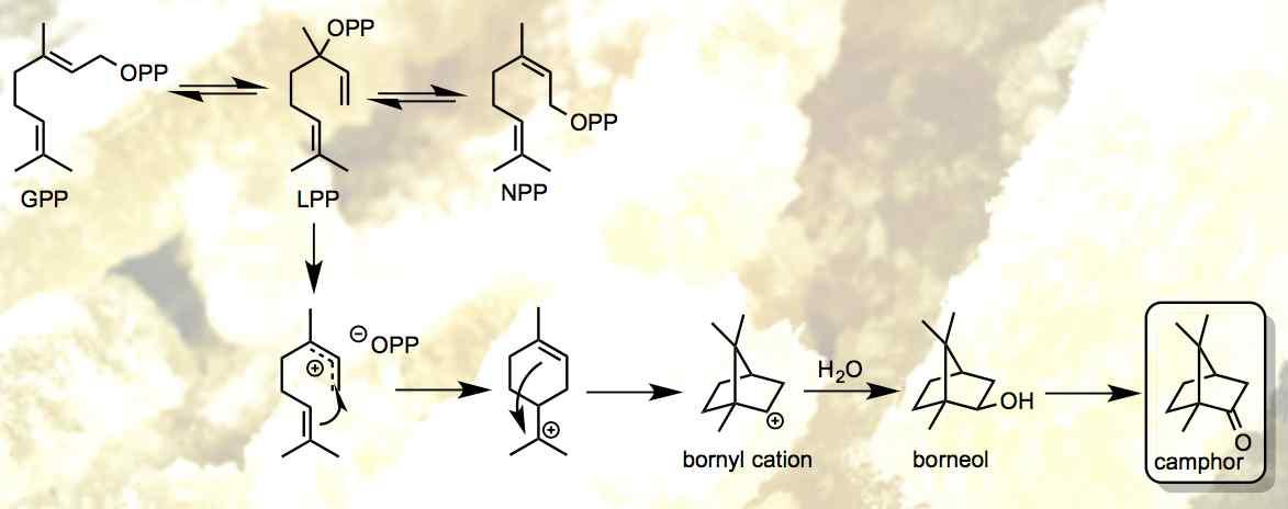 camphor biosynthesis