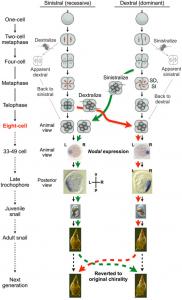 图3 Organismal Chiromorphology;人工干预胚胎4→8阶段致使卷型反转