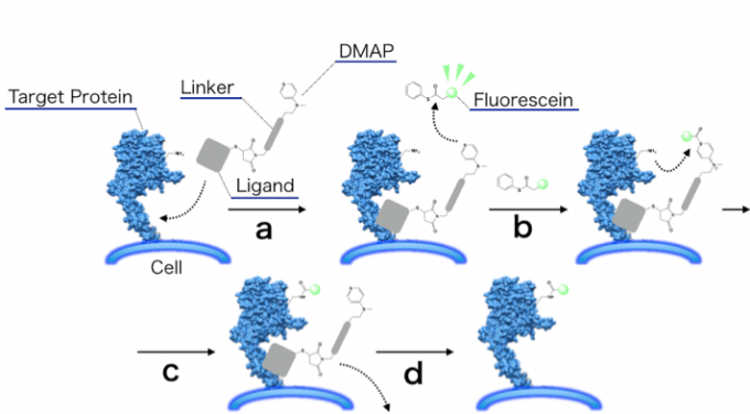 Affinity-Guided DMAP化学:(a)配体-蛋白识别 (b)DMAP活化酰基(c)蛋白质表面氨基酸的基团(氨基)进行亲核进攻 (d)配体脱离